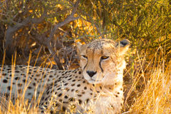 Guepardo en el parque nacional de Etosha, Namibia Imágenes de archivo libres de regalías