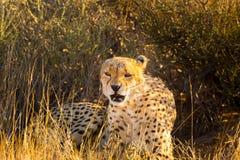 Guepardo en el parque nacional de Etosha, Namibia Imagenes de archivo
