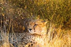 Guepardo en el parque nacional de Etosha, Namibia Foto de archivo