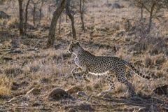 Guepardo en el parque nacional de Kruger, Suráfrica fotografía de archivo libre de regalías