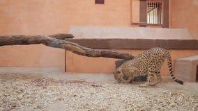 Guepardo en el parque zoológico metrajes