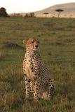 Guepardo en el puesto de observación en Mara Imagen de archivo