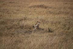 Guepardo en el safari Foto de archivo libre de regalías