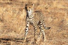 Guepardo en la luz de la mañana que camina en los llanos en Masai Mara, Kenia, África imagen de archivo