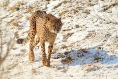 Guepardo en nieve Fotos de archivo libres de regalías
