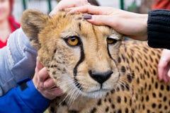 Guepardo en parque zoológico Imagen de archivo libre de regalías