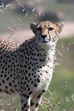Guepardo en protector Foto de archivo libre de regalías