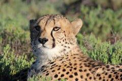 Guepardo en reserva de la fauna de Sanbona Imágenes de archivo libres de regalías