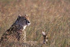 Guepardo en sabana africana Foto de archivo libre de regalías