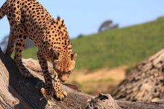 Guepardo en tronco de árbol muerto Imagen de archivo libre de regalías