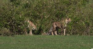 Guepardo, jubatus del acinonyx, adultos que emergen de Bush, Masai Mara Park en Kenia, metrajes