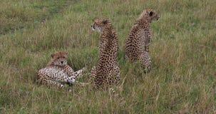Guepardo, jubatus del acinonyx, adultos que se colocan en hierba, Masai Mara Park en Kenia, almacen de video