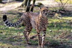 Guepardo, jubatus del Acinonyx, animal hermoso del mam?fero en el parque zool?gico fotografía de archivo
