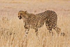 Guepardo (jubatus del Acinonyx) que recorre en el Kalahari Fotos de archivo
