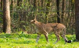 Guepardo manchado en el parque zoológico imagenes de archivo