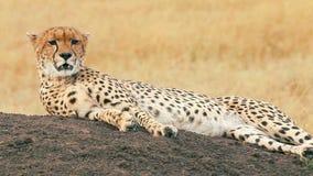 Guepardo masculino en Masai Mara almacen de video