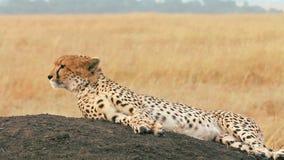 Guepardo masculino en Masai Mara metrajes
