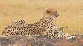 Guepardo masculino en Masai Mara almacen de metraje de vídeo