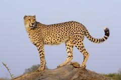Guepardo masculino (jubatus) del Acinonyx, Suráfrica Foto de archivo libre de regalías