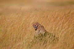 Guepardo masculino profundamente en la hierba, Masai Mara Foto de archivo