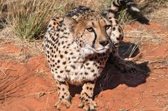 Guepardo Namibia Fotografía de archivo