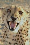 Guepardo Namibia Imagen de archivo libre de regalías