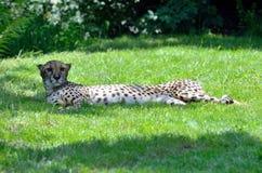 Guepardo perezoso que coloca en la hierba foto de archivo libre de regalías