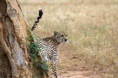 Guepardo por el árbol Fotografía de archivo libre de regalías