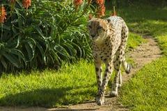 Guepardo que camina Fotografía de archivo