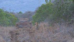 Guepardo que camina a través de la sabana metrajes