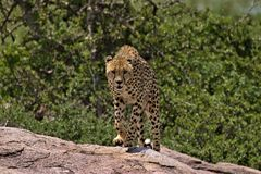 Guepardo que corre hacia nosotros en Serengeti imagenes de archivo