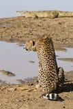 Guepardo y cocodrilo, Suráfrica Imágenes de archivo libres de regalías