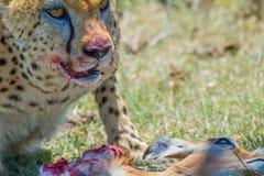 Guepardo y presa, Masai Mara, Kenia Fotos de archivo