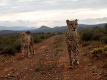 Guepardos de la caza Fotografía de archivo