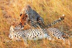 Guepardos en Masai Mara Fotos de archivo libres de regalías