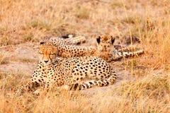 Guepardos en Masai Mara Fotografía de archivo libre de regalías