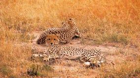 Guepardos en Masai Mara metrajes