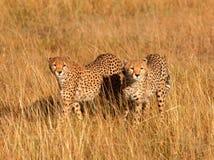 Guepardos masculinos en Masai Mara Fotografía de archivo libre de regalías