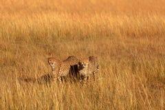 Guepardos masculinos en Masai Mara Imagen de archivo libre de regalías