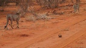 Guepardos masculinos que patrullan su territorio en la reserva del juego de Madikwe almacen de metraje de vídeo