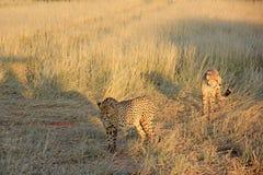 Guepardos, Namibia Foto de archivo libre de regalías