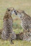 Guepardos que preparan, Suráfrica Imagen de archivo libre de regalías