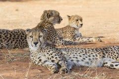 Guepardos, Suráfrica Foto de archivo