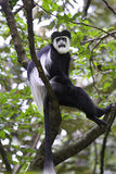 Guereza black-and-white colobus monkey. Stock Images