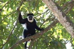 Guereza cubierto que se sienta en una rama en la corona y el lo del ` s del árbol Fotografía de archivo