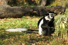Guereza de Colobus Photo libre de droits