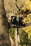 Guereza de colobus de singes de Colobus Images libres de droits