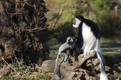 Guereza de colobus de singes de Colobus Photographie stock