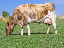 Guernsey διασταύρωσε τη γαλακτοκομική αγελάδα Στοκ φωτογραφία με δικαίωμα ελεύθερης χρήσης