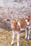 Guernsey calf Stock Images